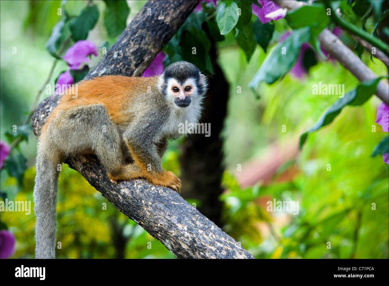 La Scimmia di scoiattolo. La Scimmia di scoiattolo saimiri siede su un ramo di un albero e pone. Immagini Stock