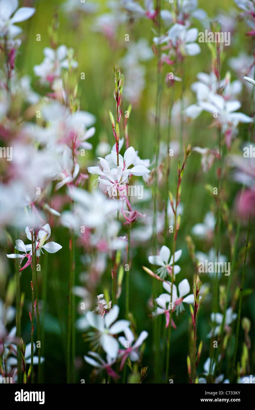 Close-up di immagine Gaura lindheimeri 'Whirling Farfalle' gaura fiori rosa e bianchi adottate contro uno Immagini Stock