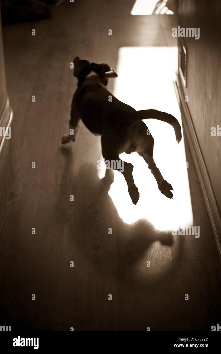 Una silhouette di un giovane cucciolo di beagle in esecuzione attraverso la casa. Immagini Stock
