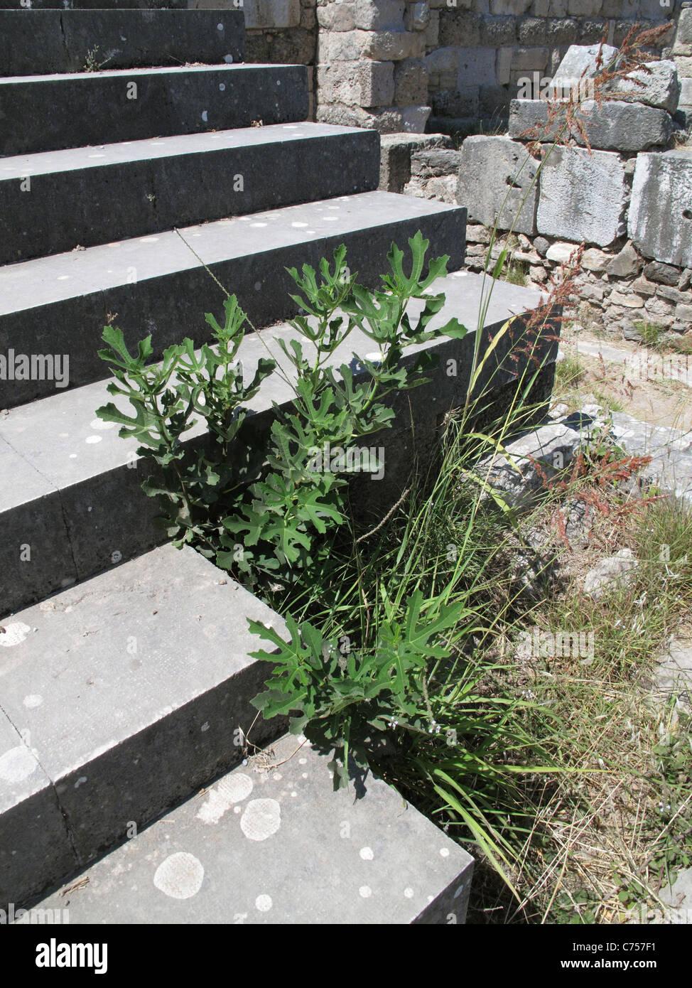 Giovani fig crescente tra le fasi di un antico rudere nei pressi della città di Kos, Kos Immagini Stock