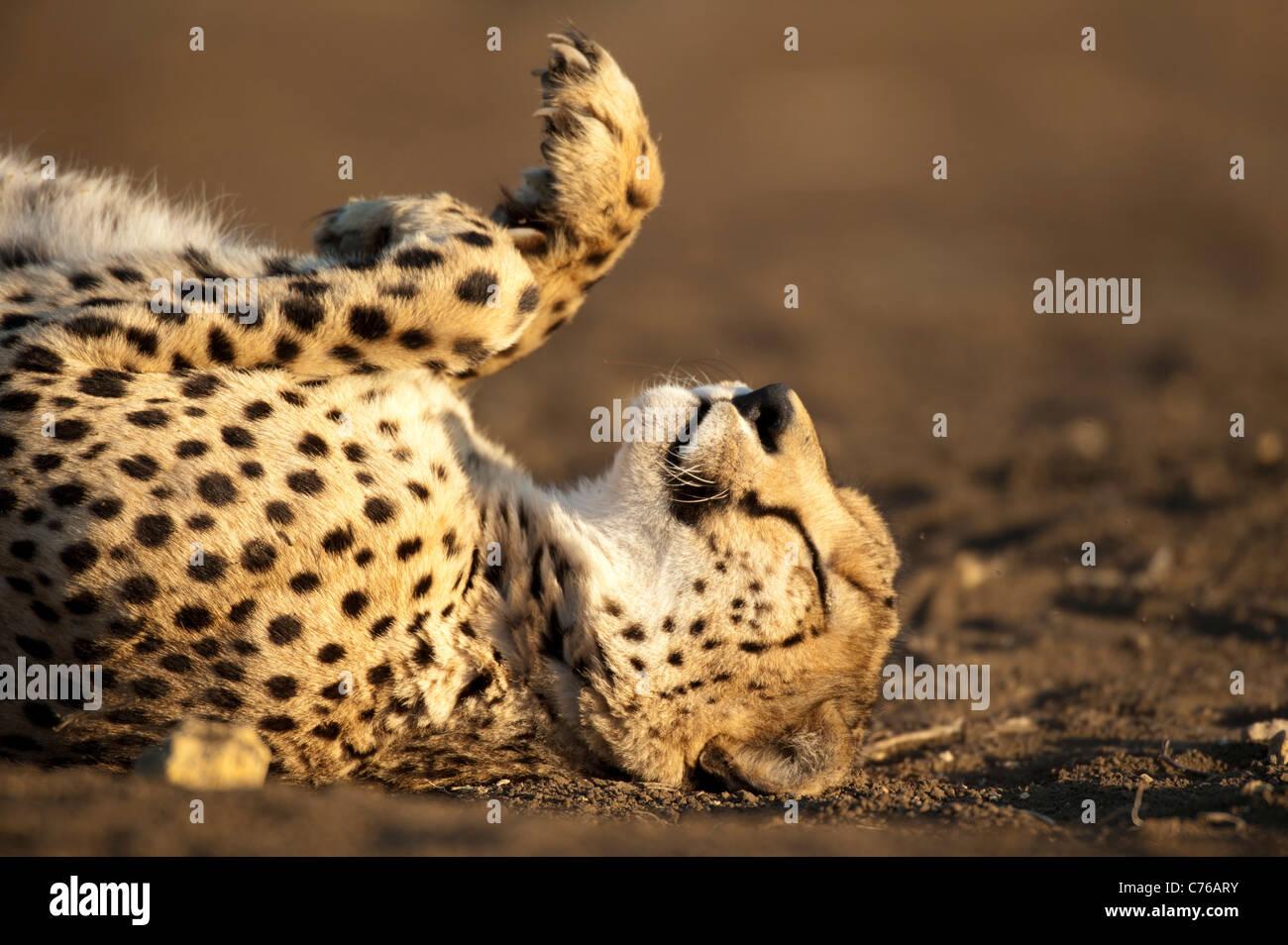 Ghepardo (Acinonyx jubatus), Phinda Game Reserve, Sud Africa Immagini Stock