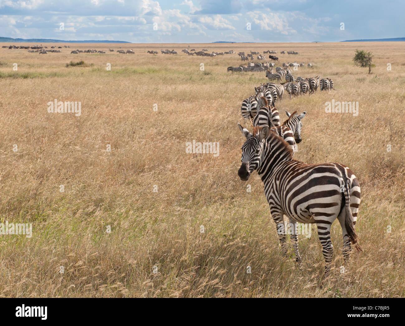 Zebre al Parco Nazionale del Serengeti, Tanzania Africa Immagini Stock