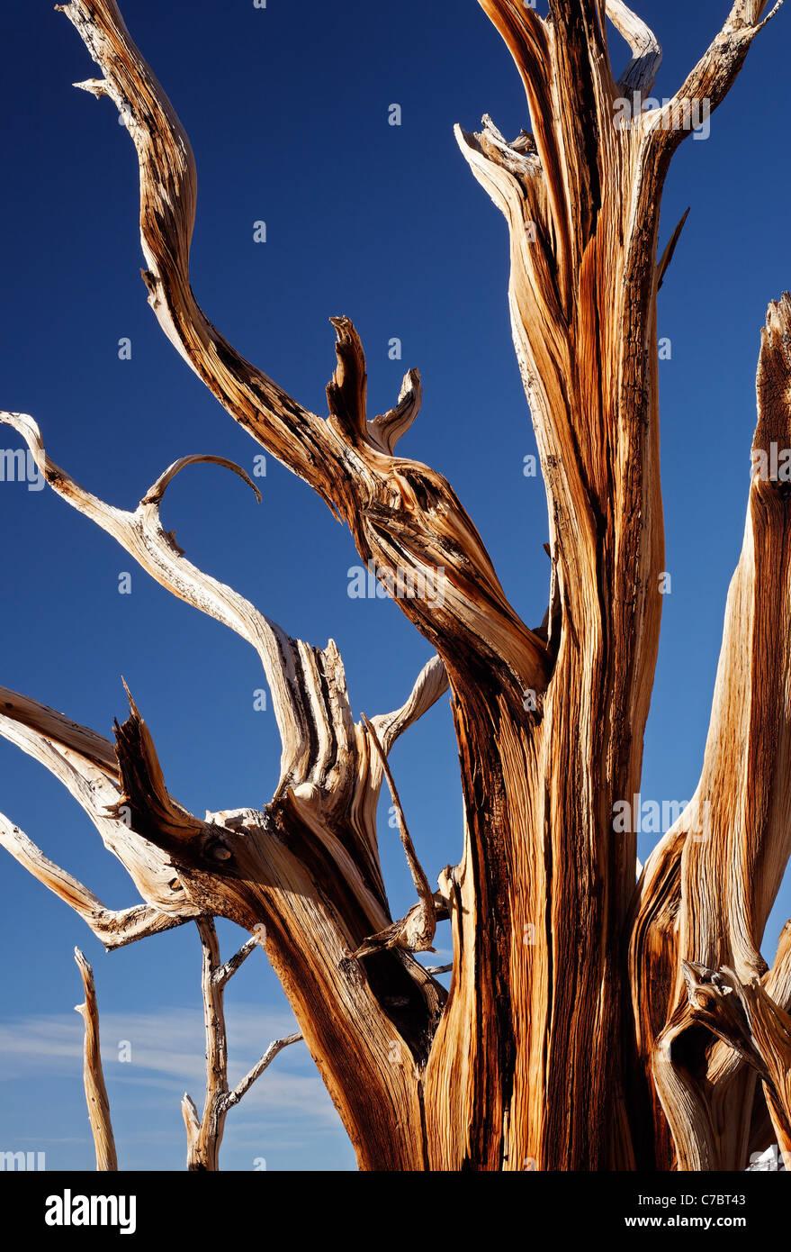 Bristlecone pine, Inyo National Forest, White Mountains, CALIFORNIA, STATI UNITI D'AMERICA Immagini Stock