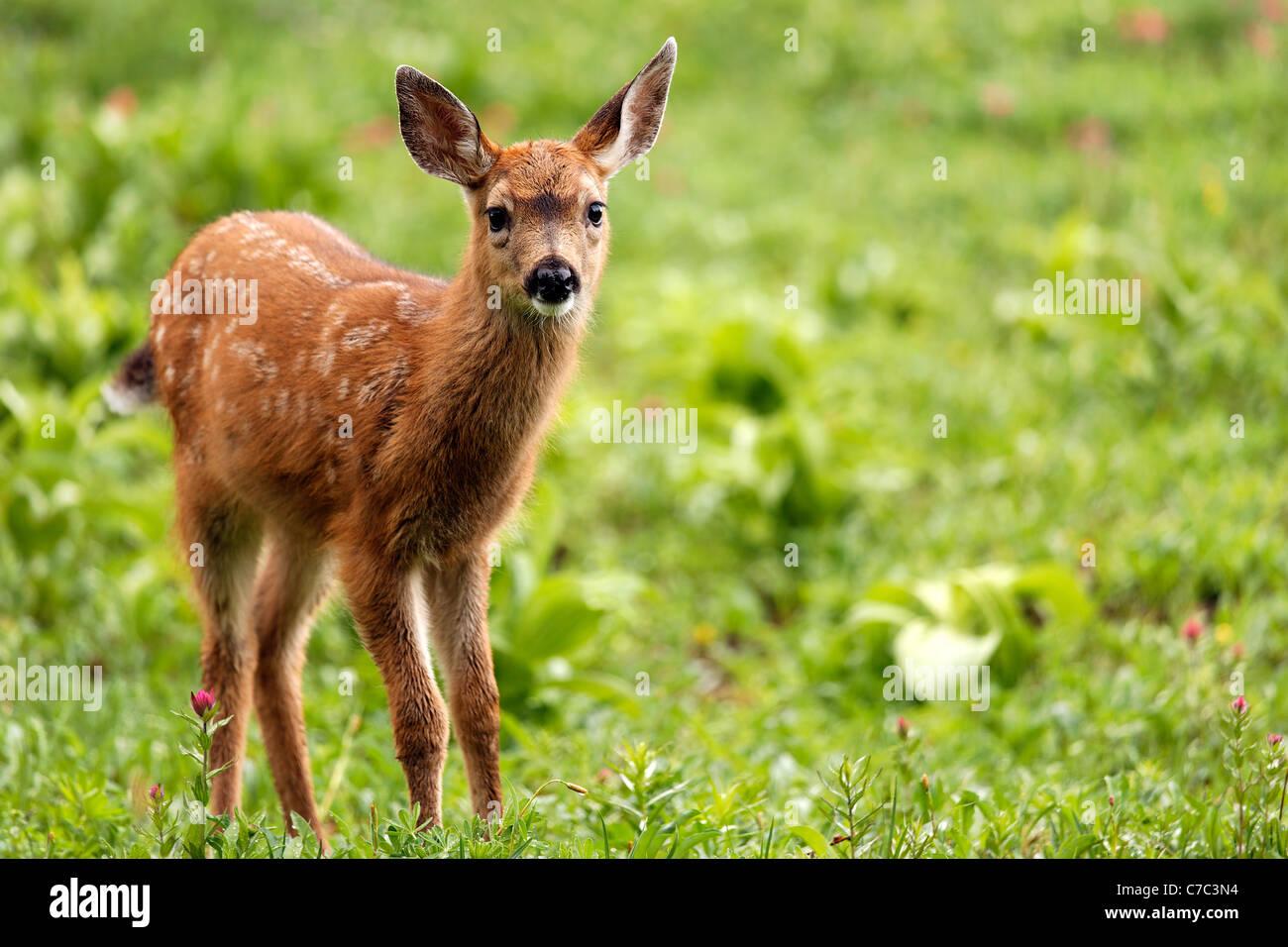 Blacktail deer fawn, Paradise, il Parco Nazionale del Monte Rainier, Washington, Stati Uniti d'America Immagini Stock
