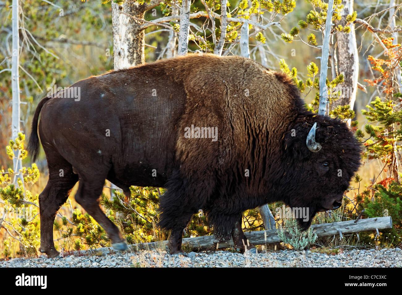 Il bisonte maschio a piedi lungo la strada di ghiaia spalla con fogliame di autunno, il Parco Nazionale di Yellowstone, Immagini Stock