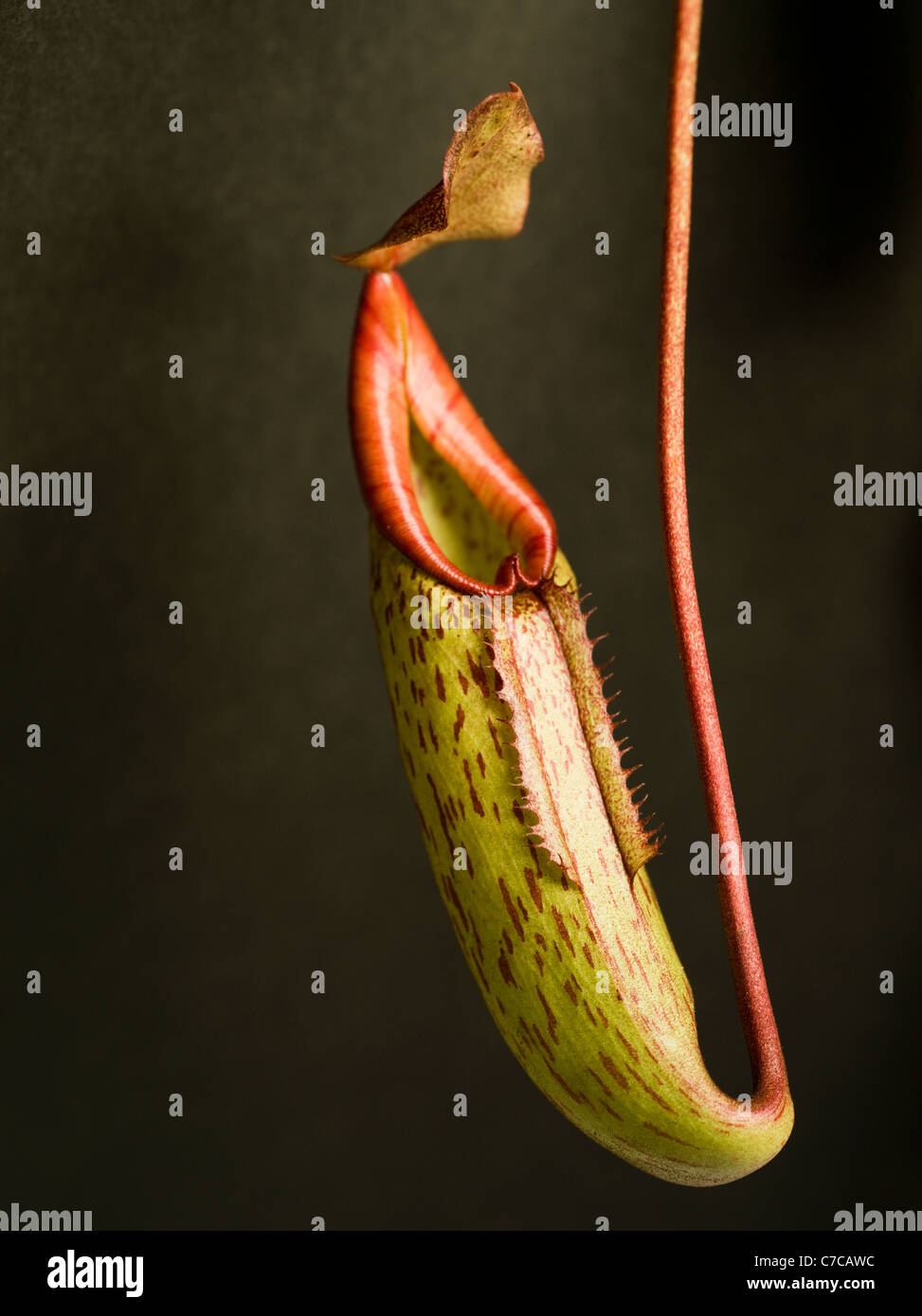 Carnivori di pianta brocca Immagini Stock