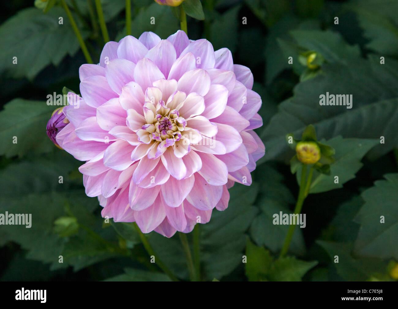 Le tonalità di magenta malva e rosa di un Fiore Dahlia in un giardino inglese in tarda estate Immagini Stock
