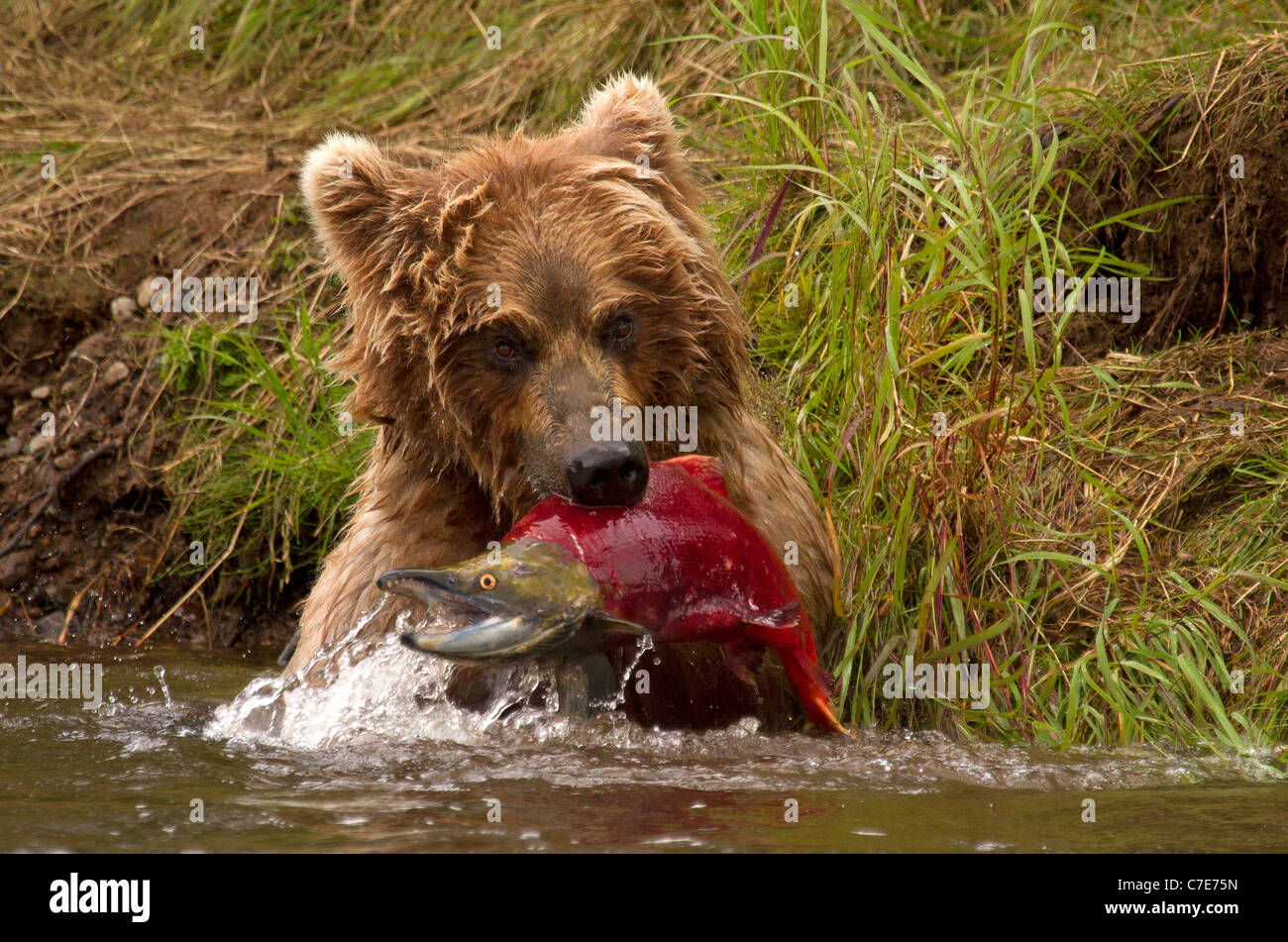 Brown Bear Cub, Ursus arctos afferra un pesce Immagini Stock