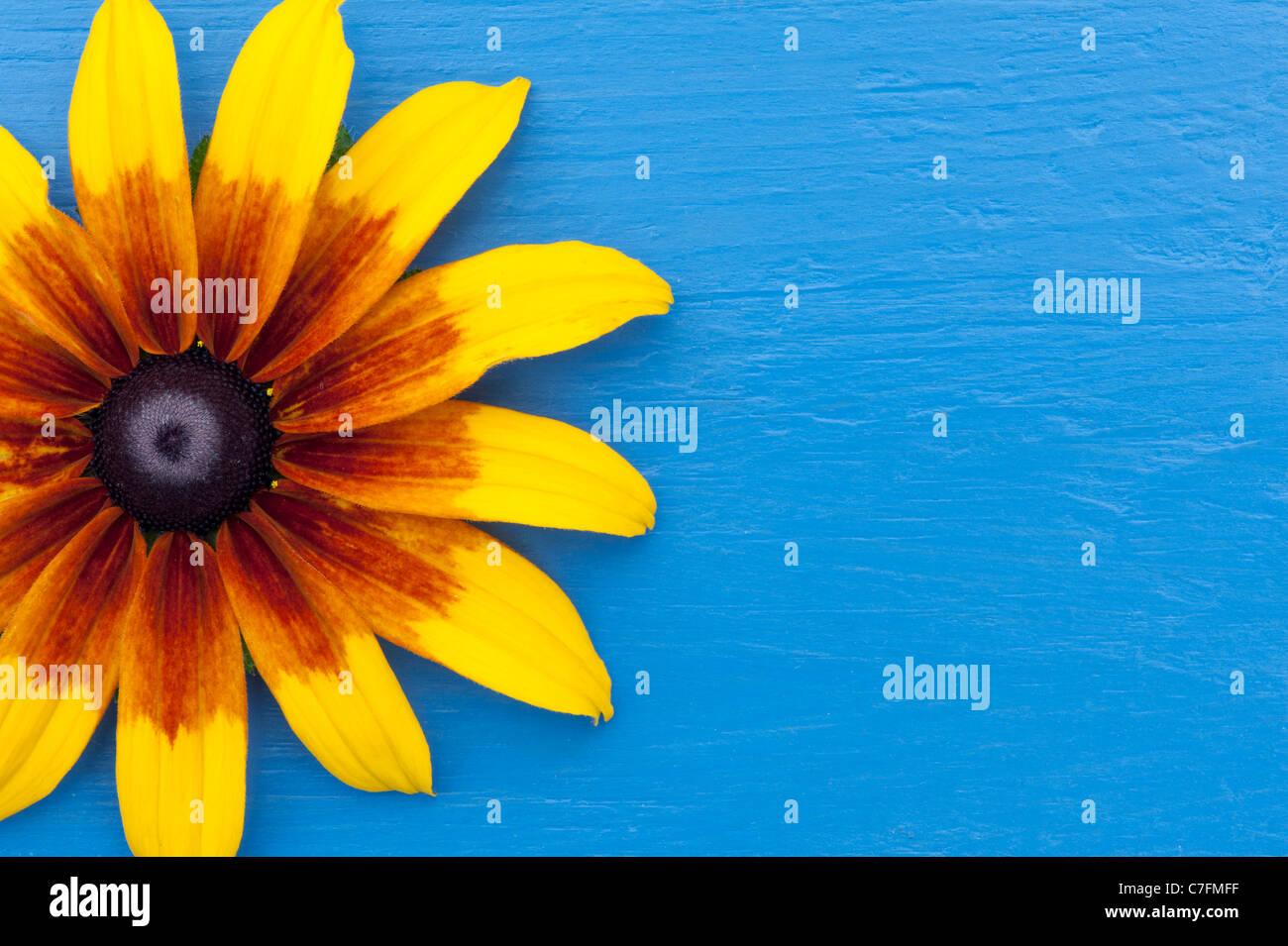 Rudbeckia hirta nana rustica fiore su un blu in legno dipinto sullo sfondo Immagini Stock