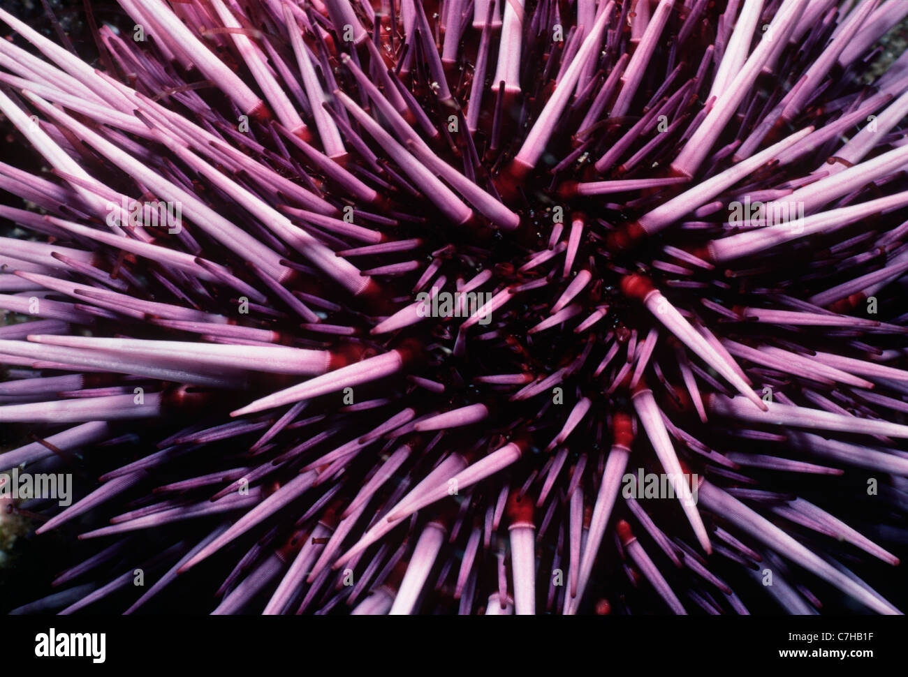 Viola ricci di mare (Strongylocentratus purpuratus) alimentazione su kelp. Isole del Canale, California (USA) - Foto Stock