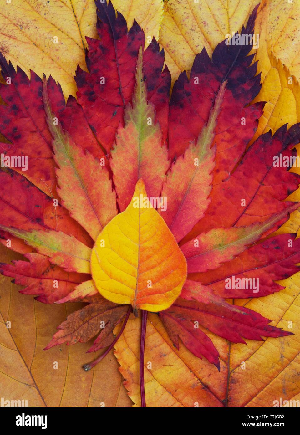 Acer e autumn leaf pattern. Acero giapponese e varie altre foglie cambiando colore in autunno. Immagini Stock