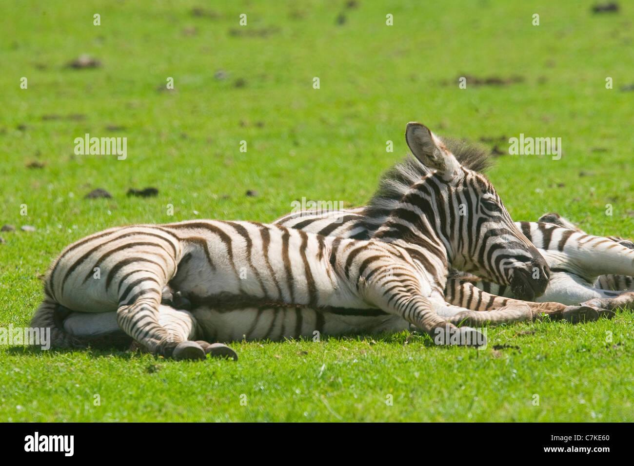 """Zebre il Safari Parc """"Le monde sauvage' in Ayvaille nelle Ardenne belghe. Immagini Stock"""