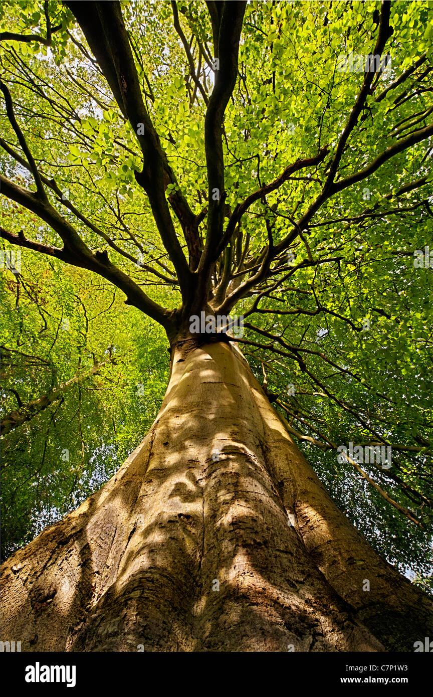 Faggio visto da sotto con luce solare pezzata ombra sul tronco Immagini Stock