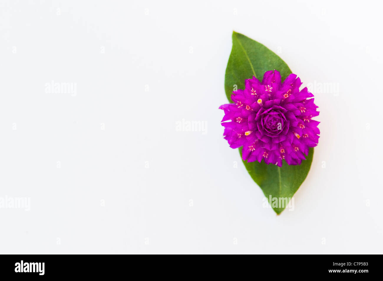 Gomphrena globosa . Amaranto a globo o pulsante di Bachelor fiore su uno sfondo bianco Foto Stock