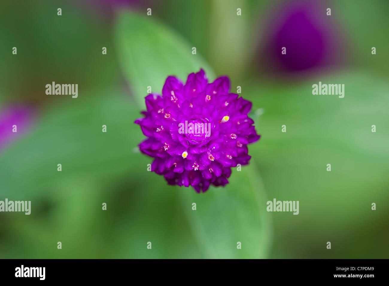 Gomphrena globosa . Amaranto a globo o pulsante di Bachelor fiore in India Foto Stock