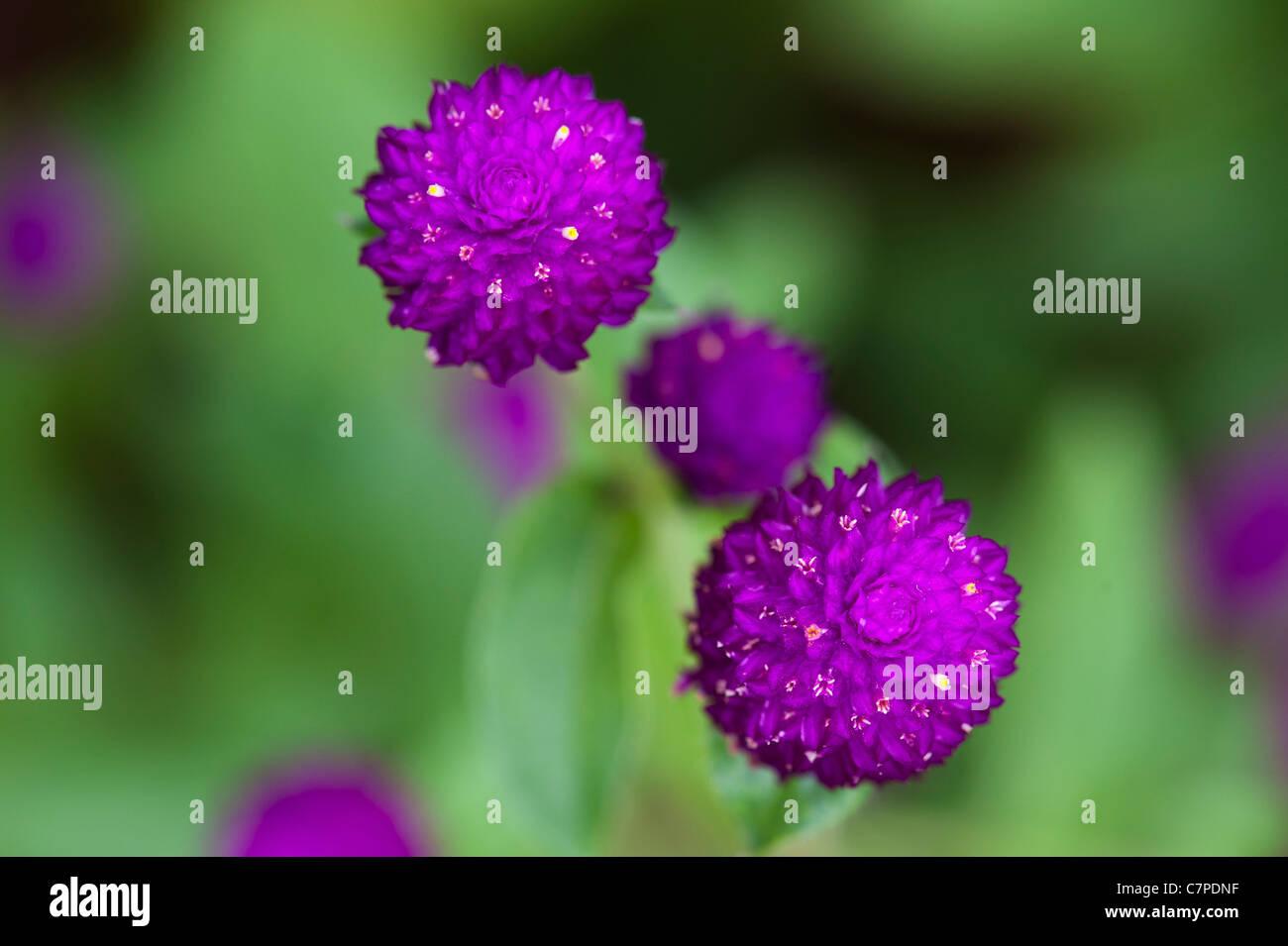 Gomphrena globosa . Amaranto a globo o pulsante di Bachelor fiori in India Immagini Stock