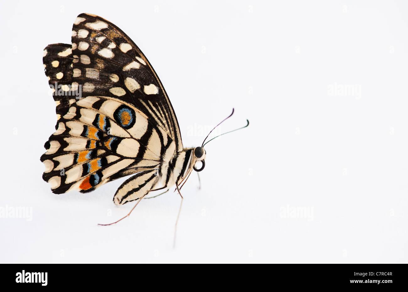 Papilio demoleus . Lime butterfly su sfondo bianco Immagini Stock