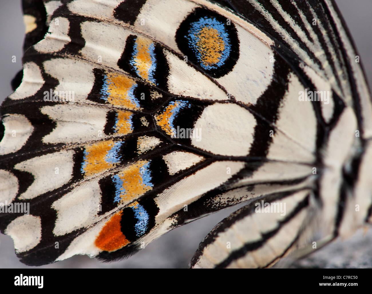 Papilio demoleus . Lime ala di farfalla pattern Immagini Stock