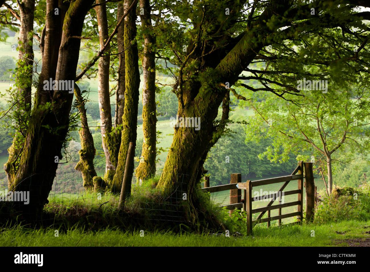 Bridleway pubblico attraverso gli alberi e la Campagna, Parco Nazionale di Exmoor, Somerset, Inghilterra. Molla Immagini Stock