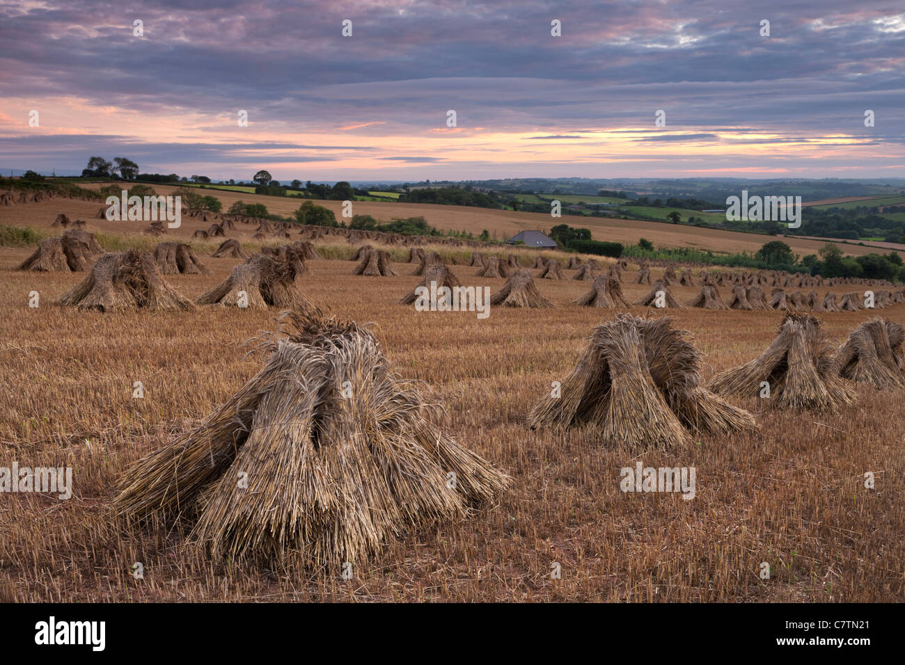 Stooks mais in un campo di Devon al tramonto, nuove, Devon, Inghilterra. In estate (Luglio) 2011. Foto Stock