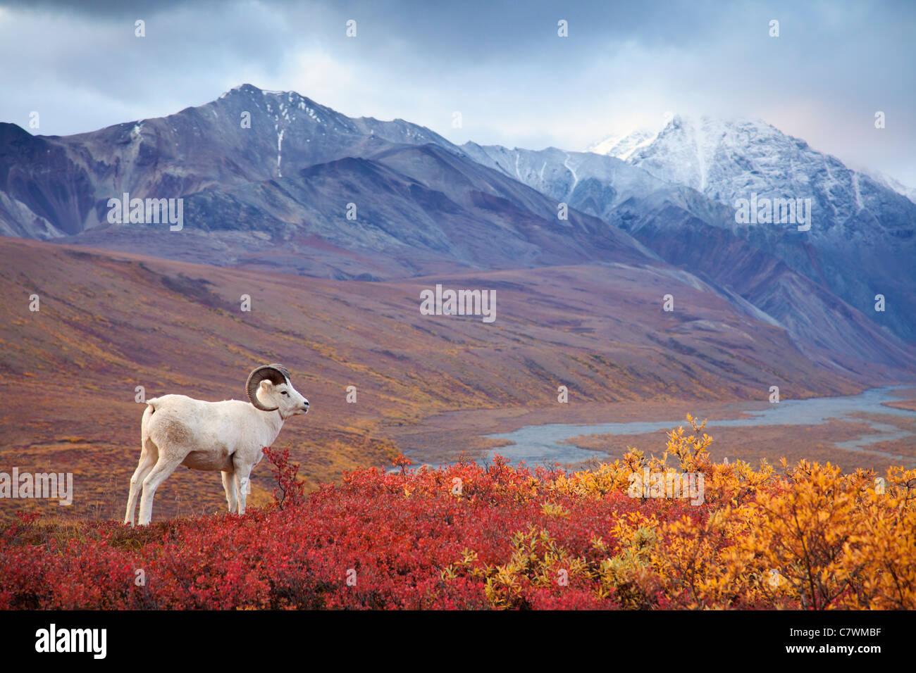 Dall le pecore in policromia Pass, Parco Nazionale di Denali, Alaska. Immagini Stock
