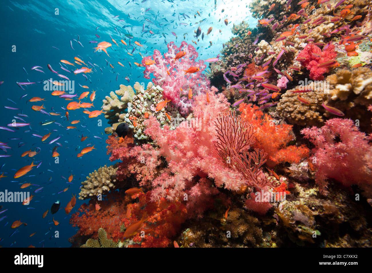 Colorata Barriera Corallina, Namena Riserva Marina, Isole Figi Immagini Stock