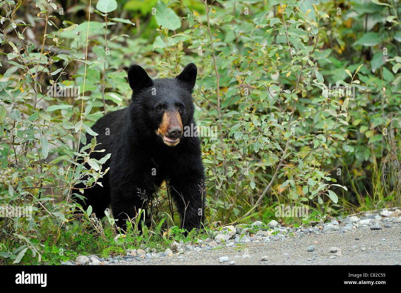 Un teenager black bear uscendo della spazzola Foto Stock