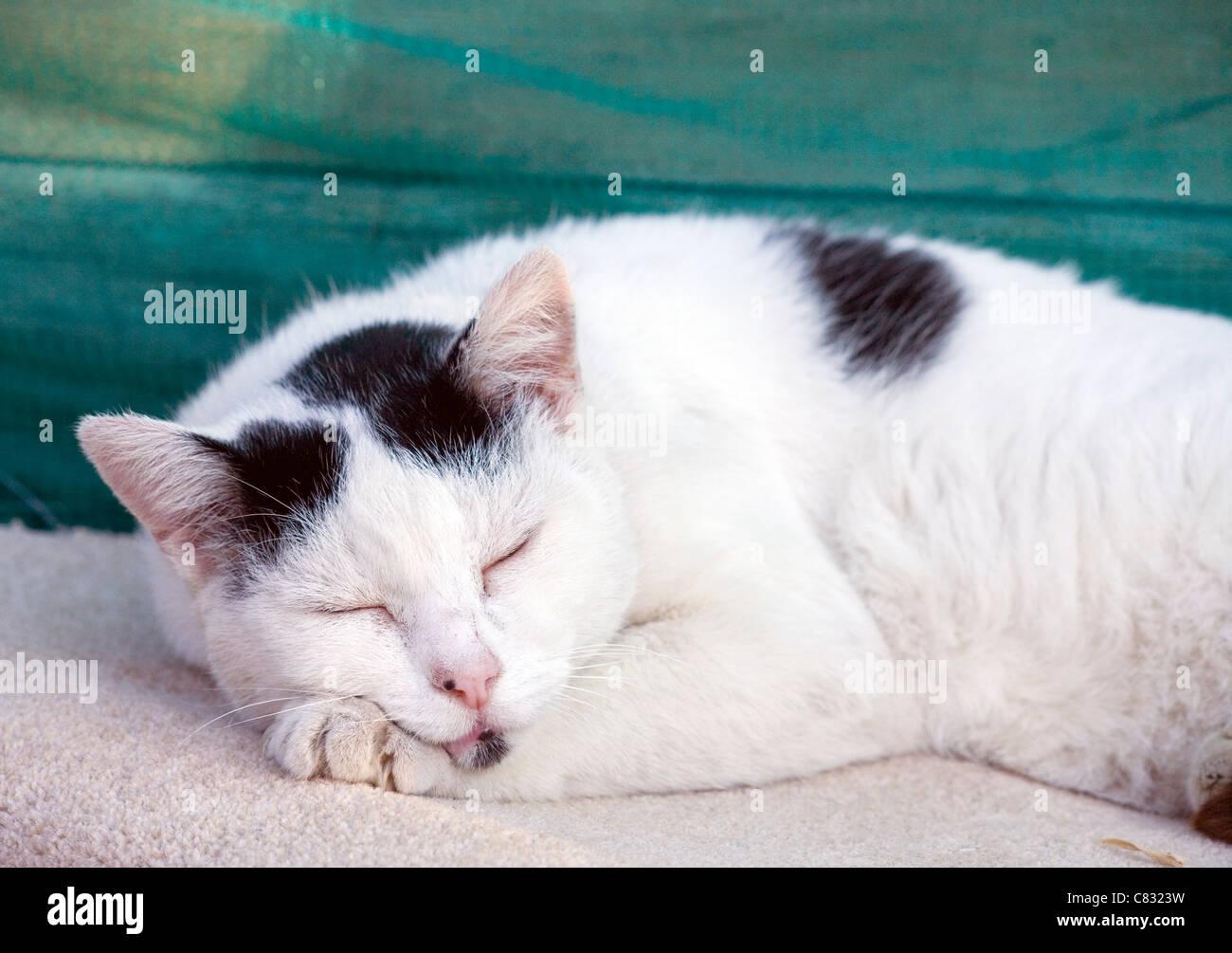 Il gatto domestico singolo adulto dorme al di fuori del Regno Unito Immagini Stock