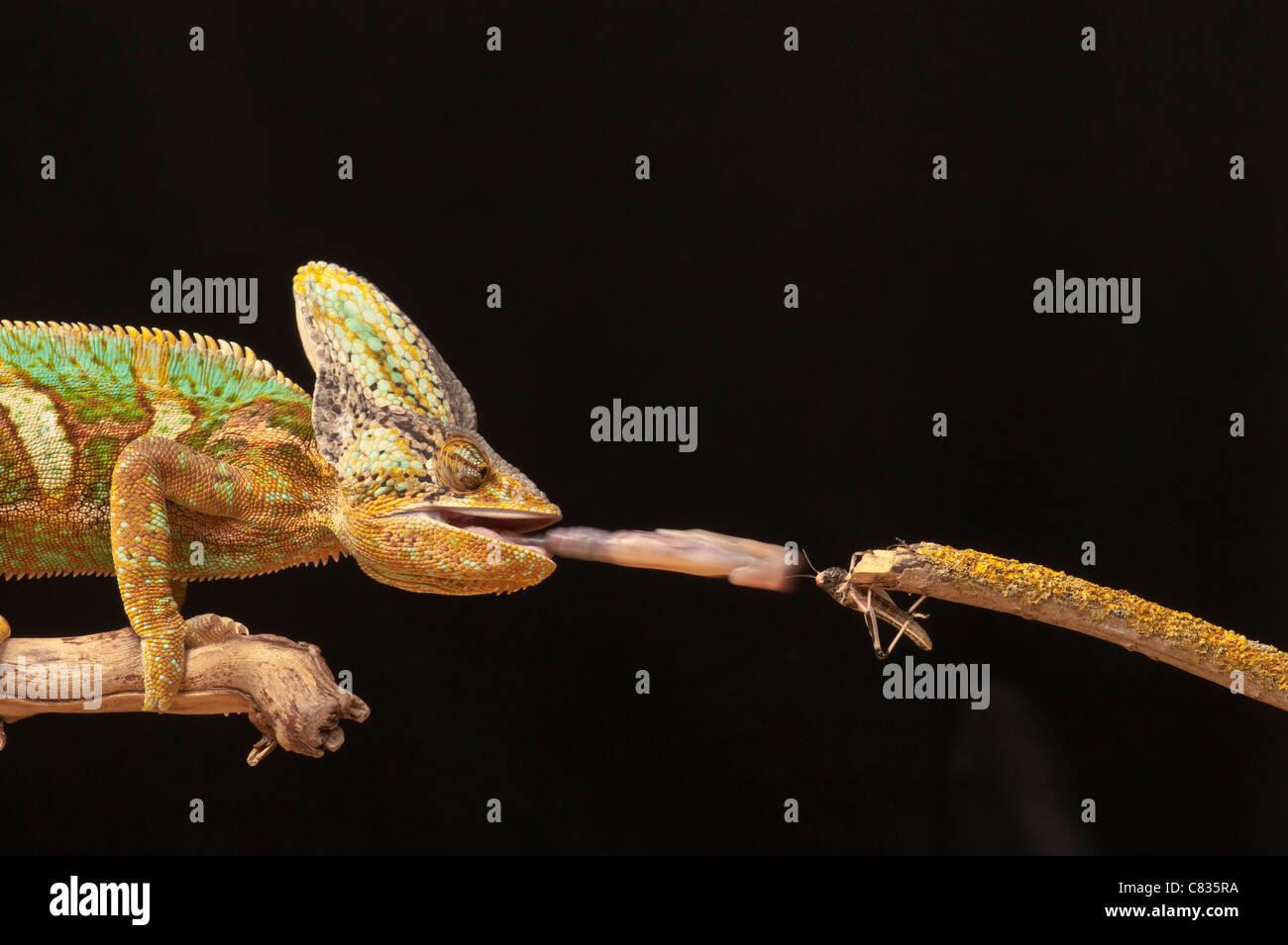 Chameleon mangiare Grasshopper Immagini Stock