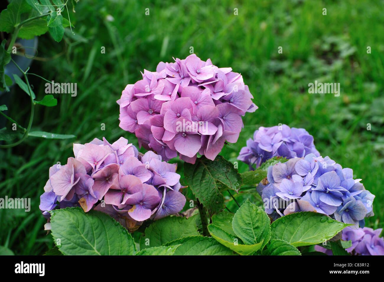 Nomi Fiori Rosa.Bellissimi Fiori Rosa In Giardino Nomi Comuni Ortensie E