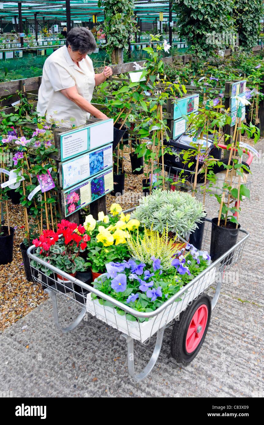Modello di rilascio senior donna di età compresa tra i 68 selezionando la clematide piante in giardino al centro Immagini Stock