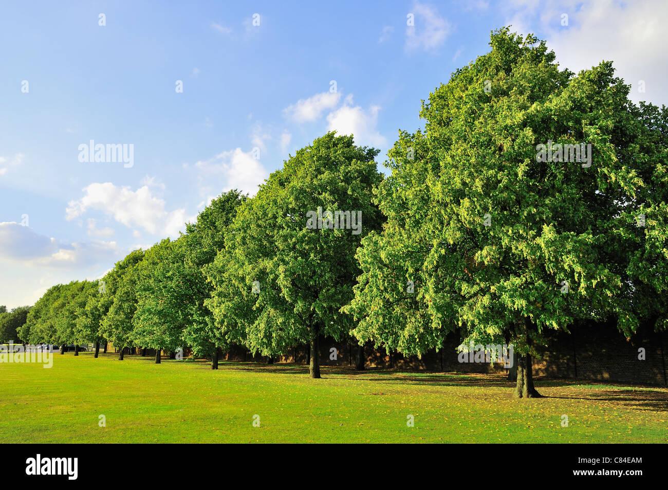 b1639a138d65 Fila di alberi in un parco di Londra in estate Foto   Immagine Stock ...