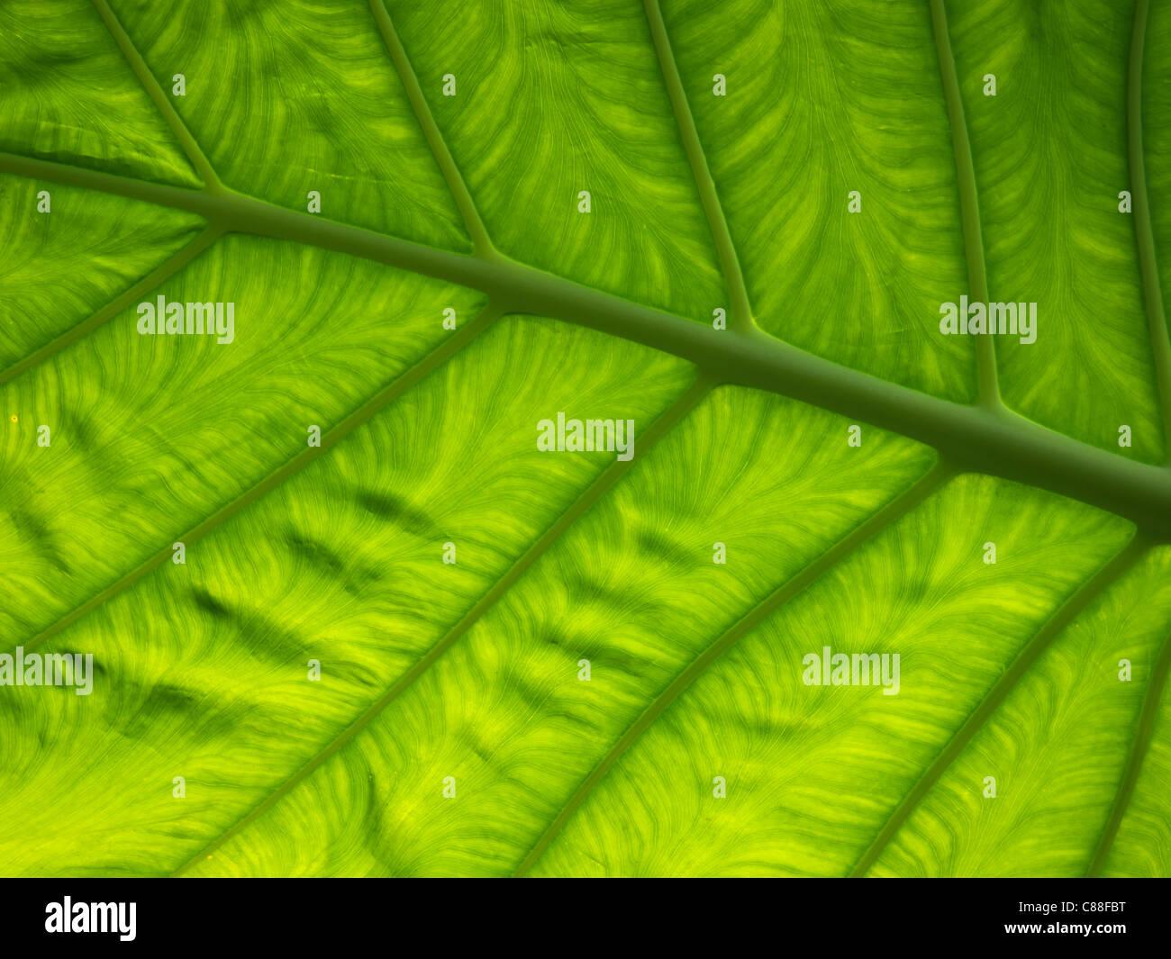 Foglia verde Foto Stock
