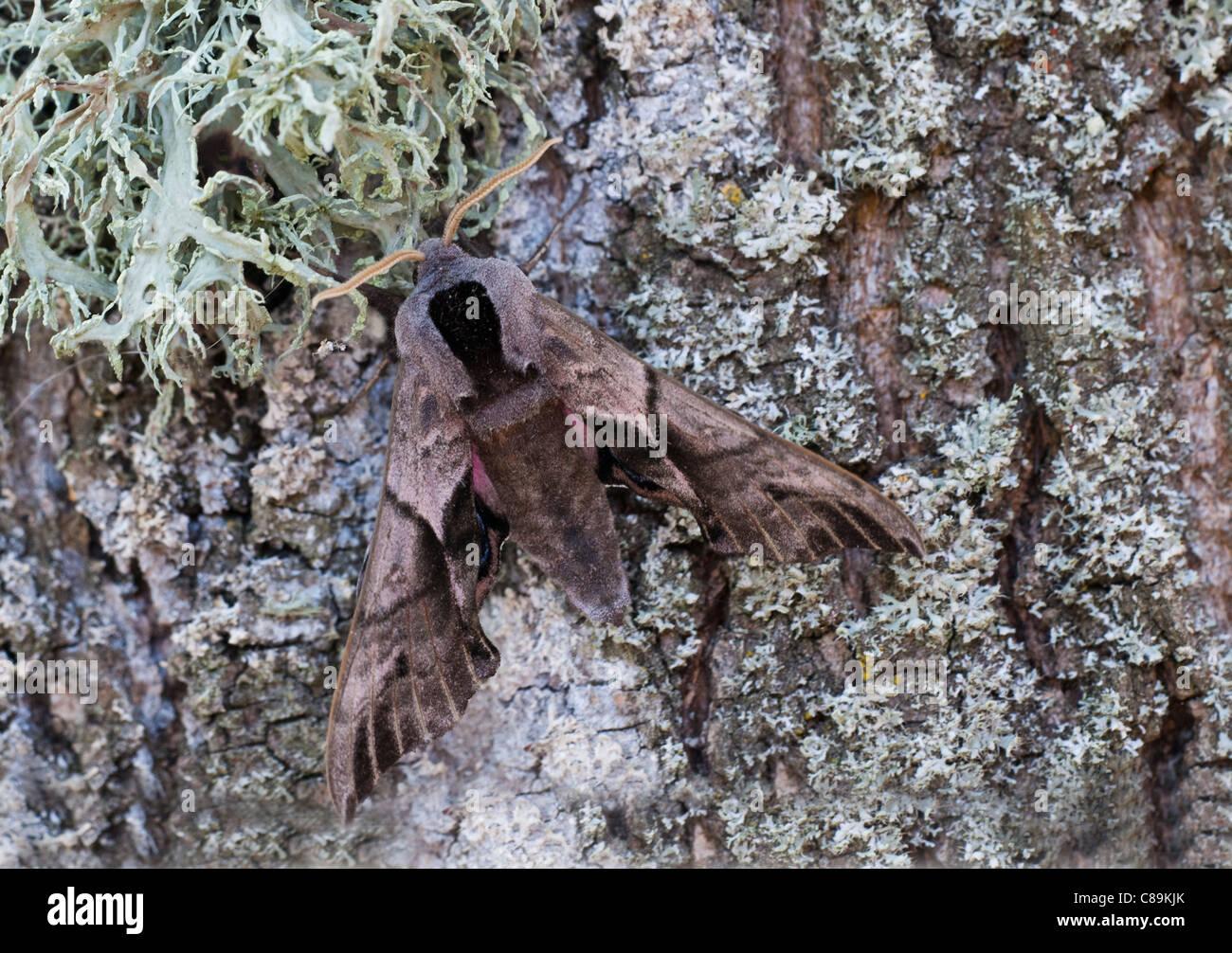 Eyed Hawkmoth. Smerinthus ocellata inconfondibile eye-spot su hindwing rosa sono diagnostici, quando disturbato, Immagini Stock