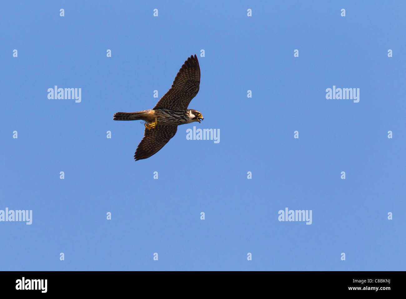 Eurasian Hobby (Falco Subbuteo®) in volo con catturato dragonfly, Germania Immagini Stock