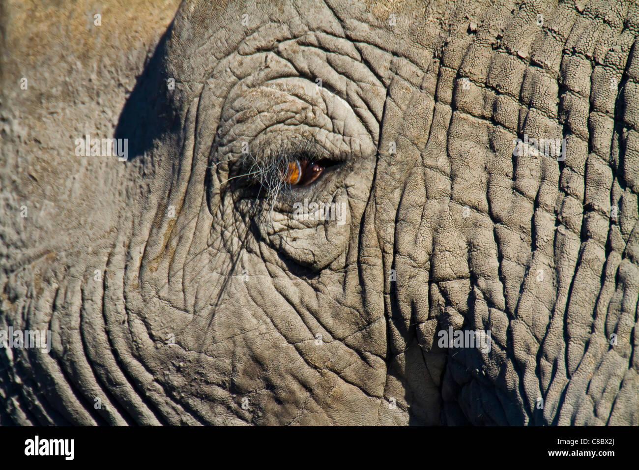 Elephant eye, il Parco Nazionale di Hwange, Zimbabwe Immagini Stock