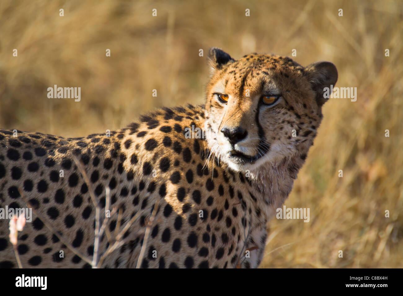 Cheetah nel Parco Nazionale di Hwange, Zimbabwe Immagini Stock