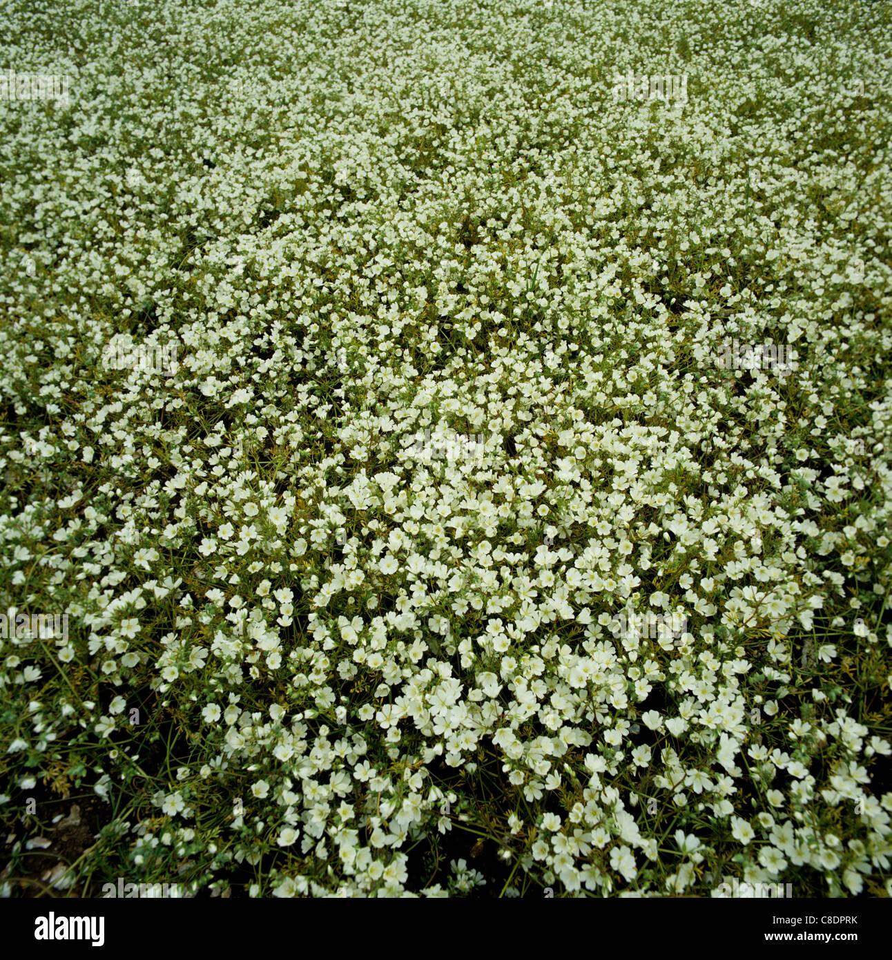 Un limnanthes (Limnanthes alba) raccolto in pieno fiore Immagini Stock