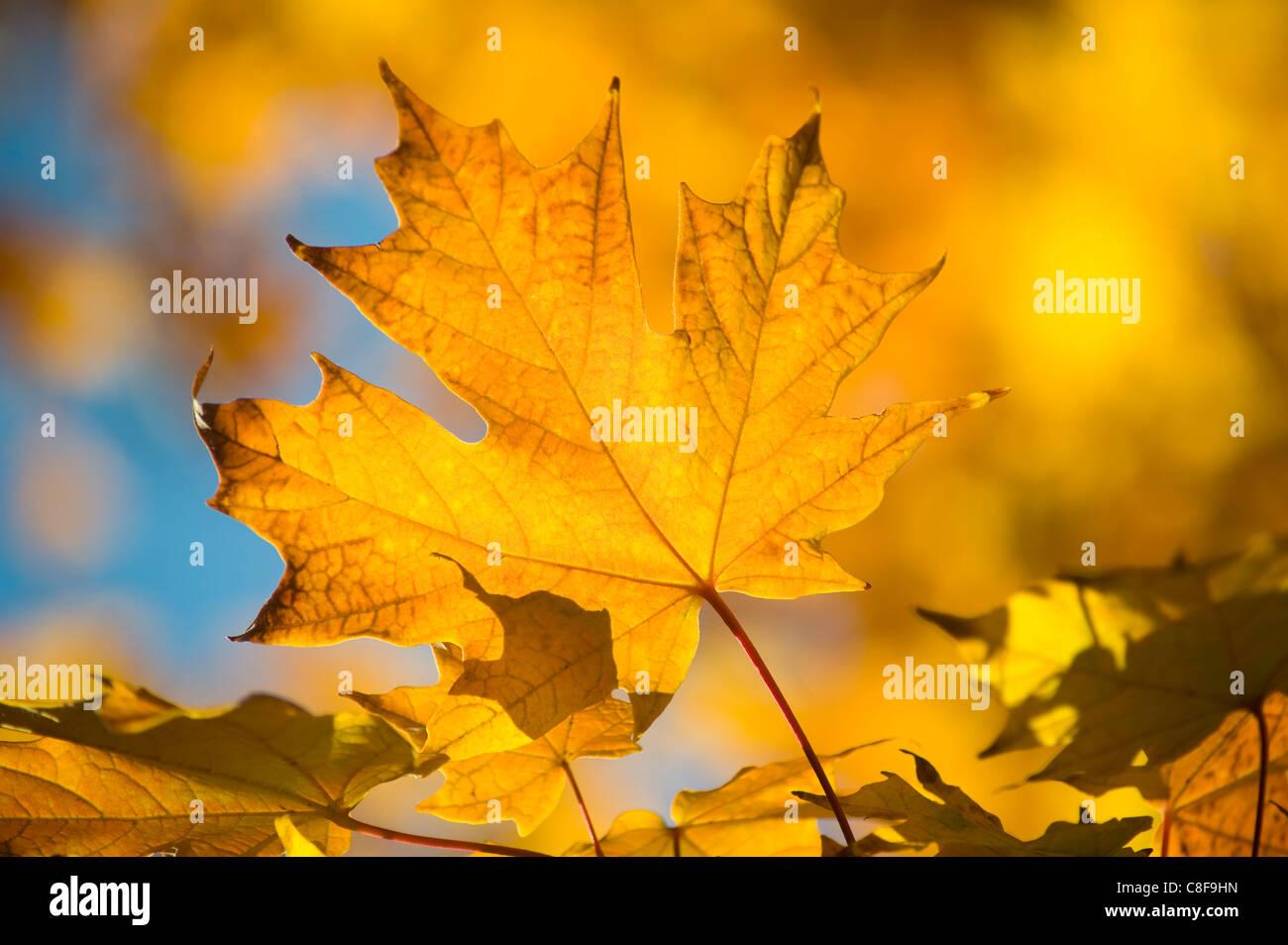 Di colore giallo brillante foglie di acero in autunno, Vermont, New England, Stati Uniti d'America Foto Stock