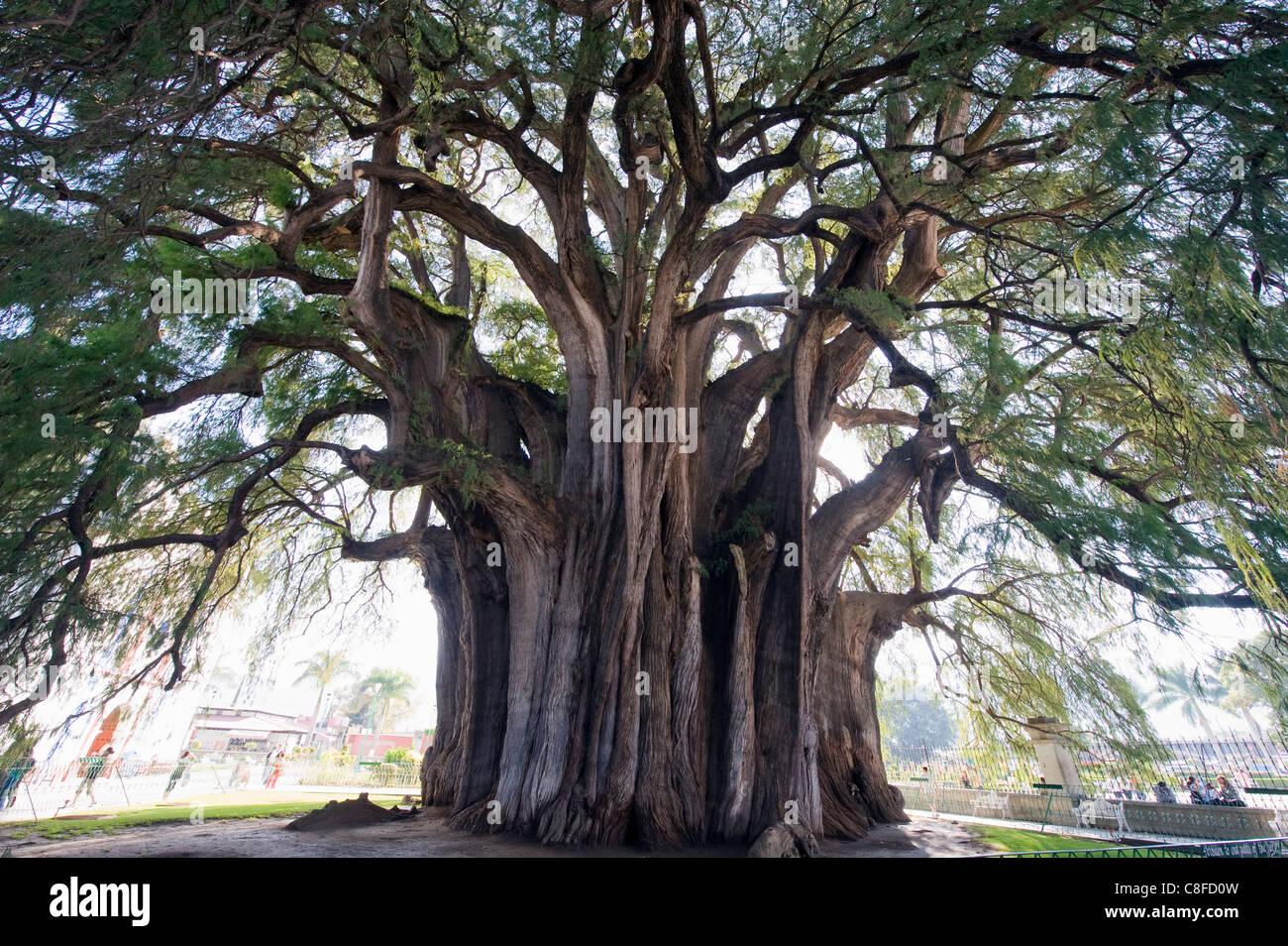 El Tule tree, i mondi più grande albero dalla circonferenza, stato di Oaxaca, Messico Immagini Stock