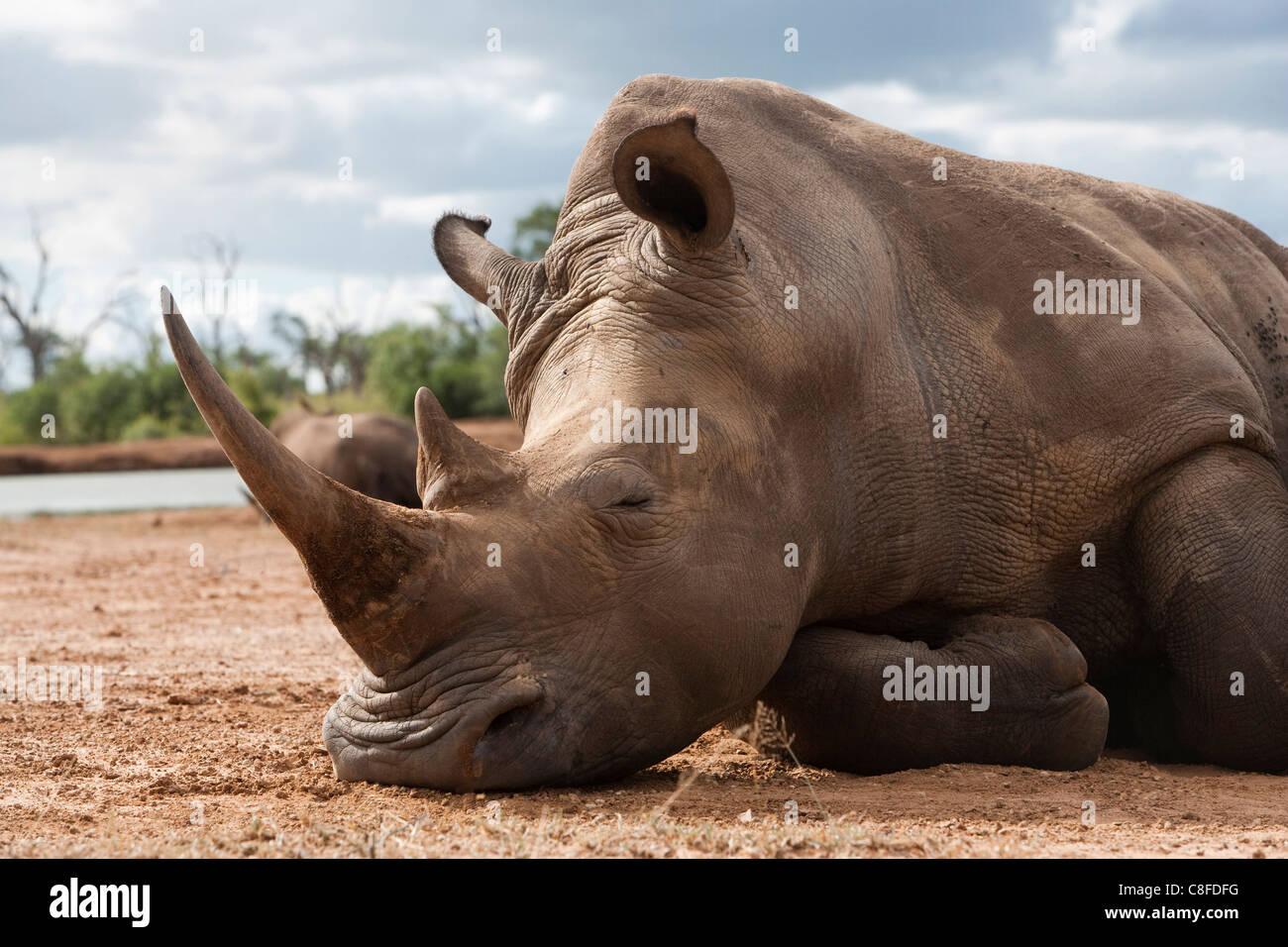 White Rhino (Ceratotherium simum, Hlane Royal National Park, dello Swaziland Immagini Stock