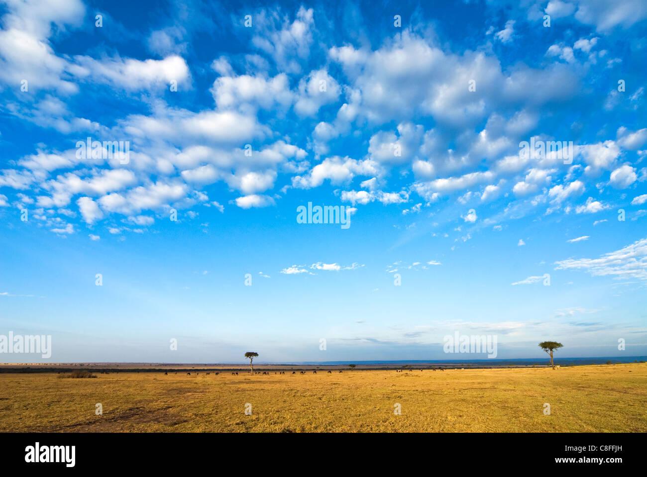 La bussola, il Masai Mara riserva nazionale, Kenya, Africa orientale Immagini Stock