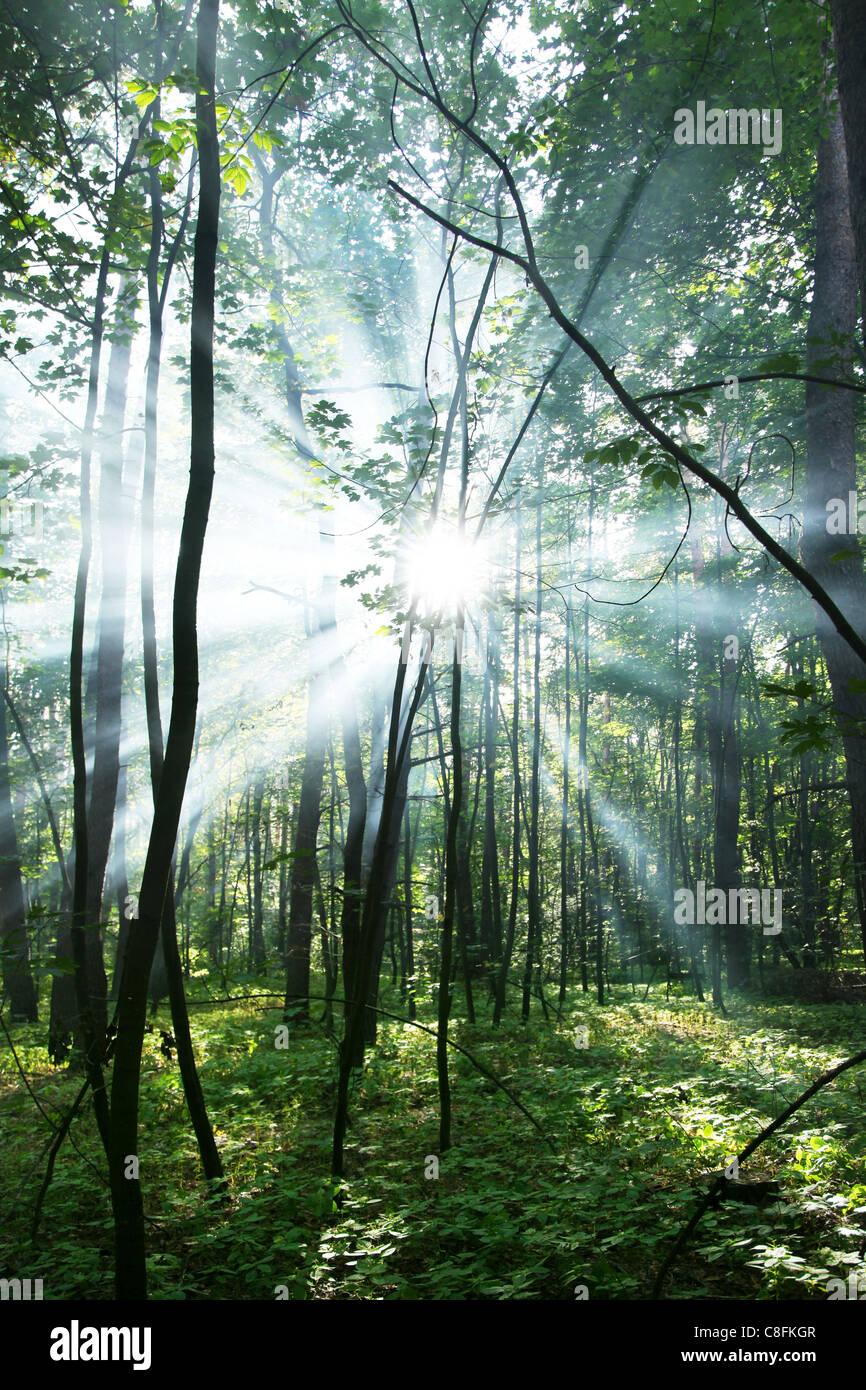 I raggi di sole che splende attraverso gli alberi della foresta. Immagini Stock