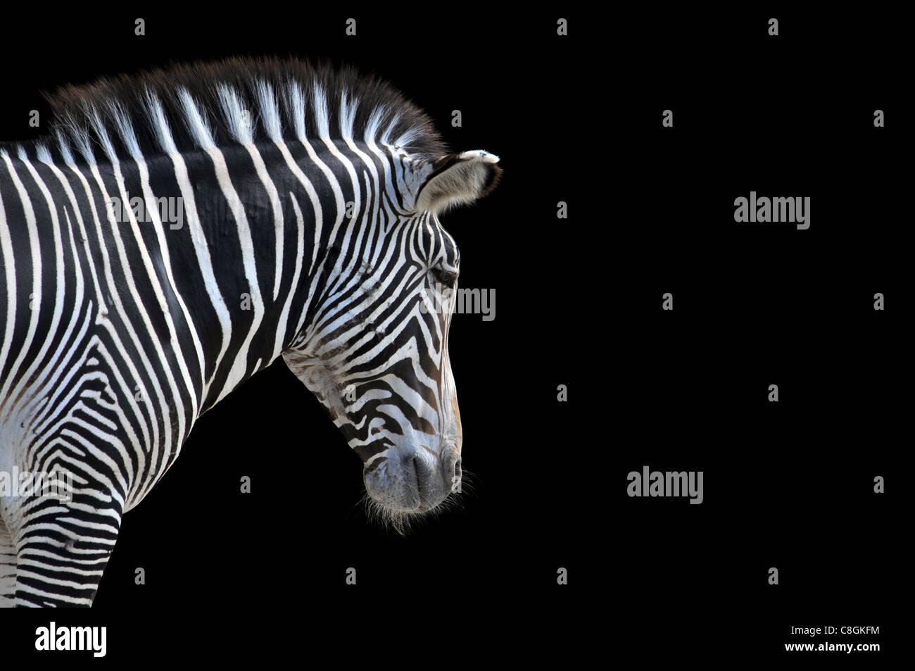 Ritratto di Zebra isolata su uno sfondo nero con spazio per il testo Immagini Stock