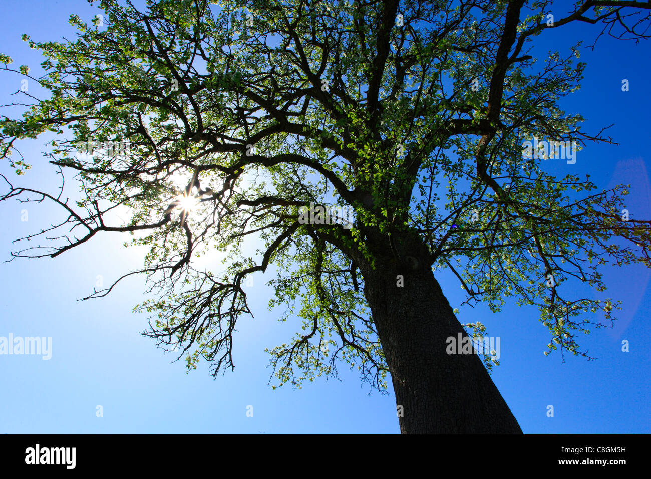 Agrario, Apple, Apple Tree, albero apple blossom, fiorire, albero, blossom, fiorire, fiore, splendore, dettaglio, Immagini Stock