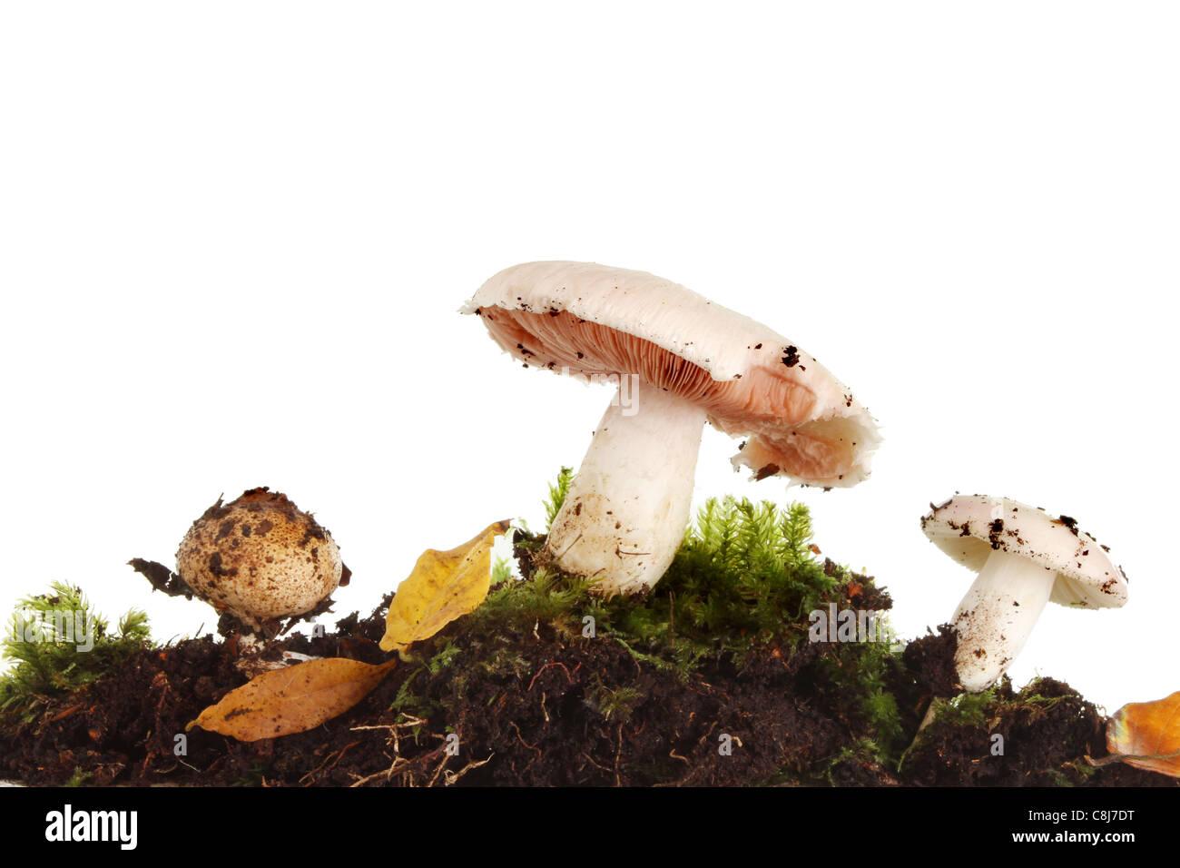 Gruppo di funghi di funghi selvatici, toadstool e puff ball tra il muschio e foglie di autunno Foto Stock