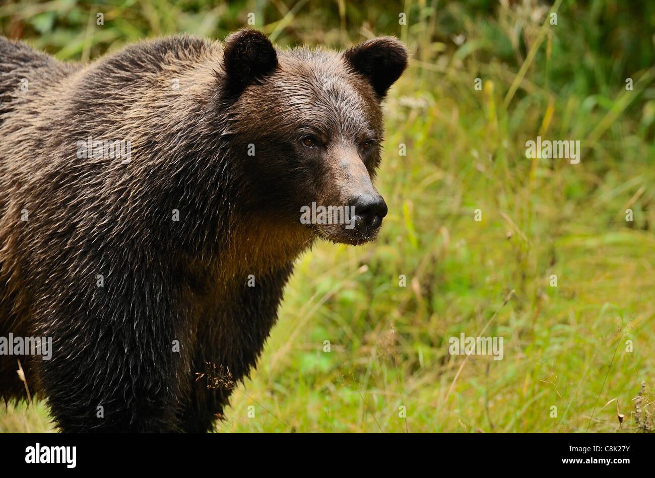 Un adulto madre orso grizzly in piedi che guarda lontano. Immagini Stock