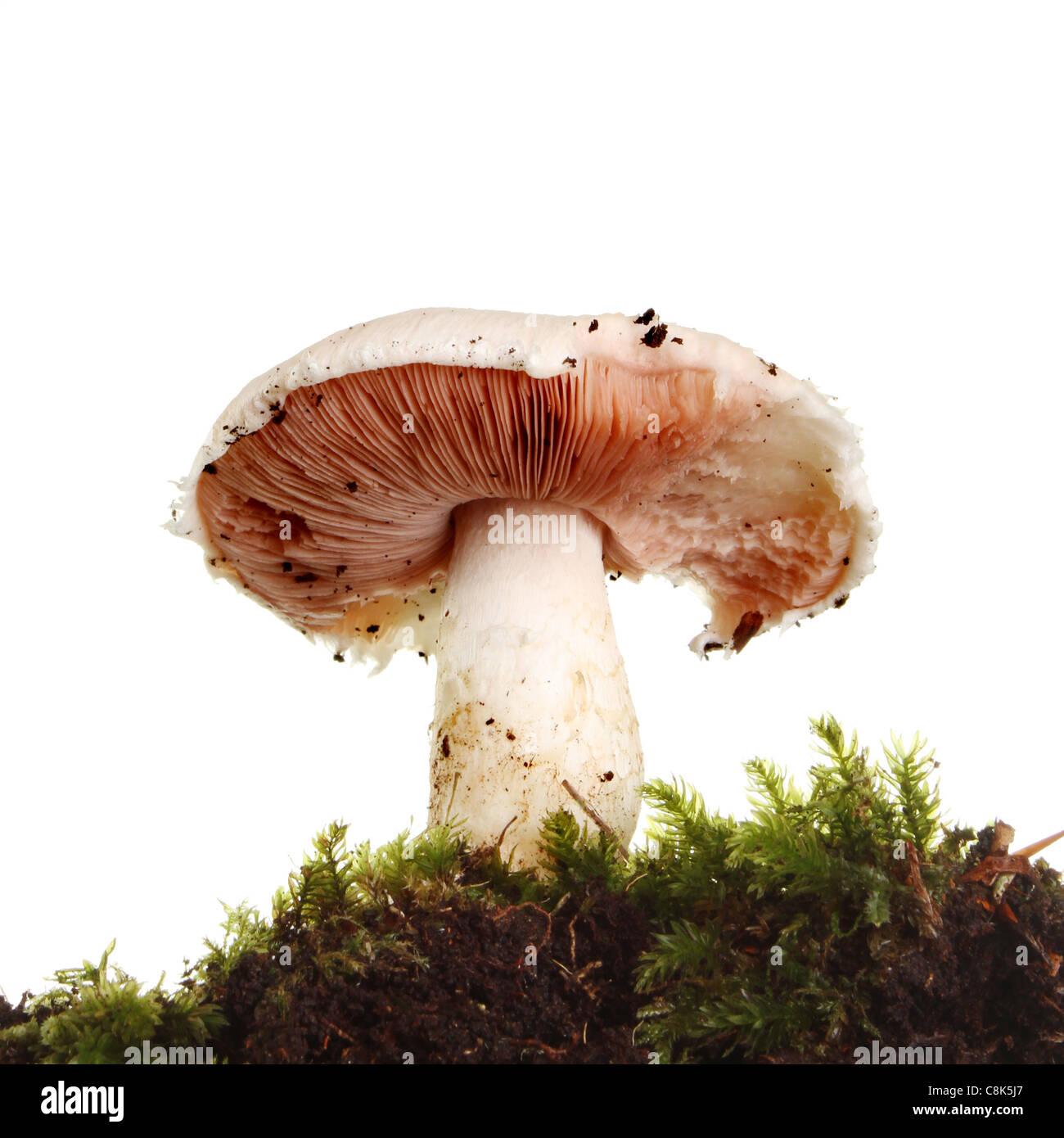 Primo piano di funghi selvatici crescente tra il muschio visto da un angolo basso Foto Stock