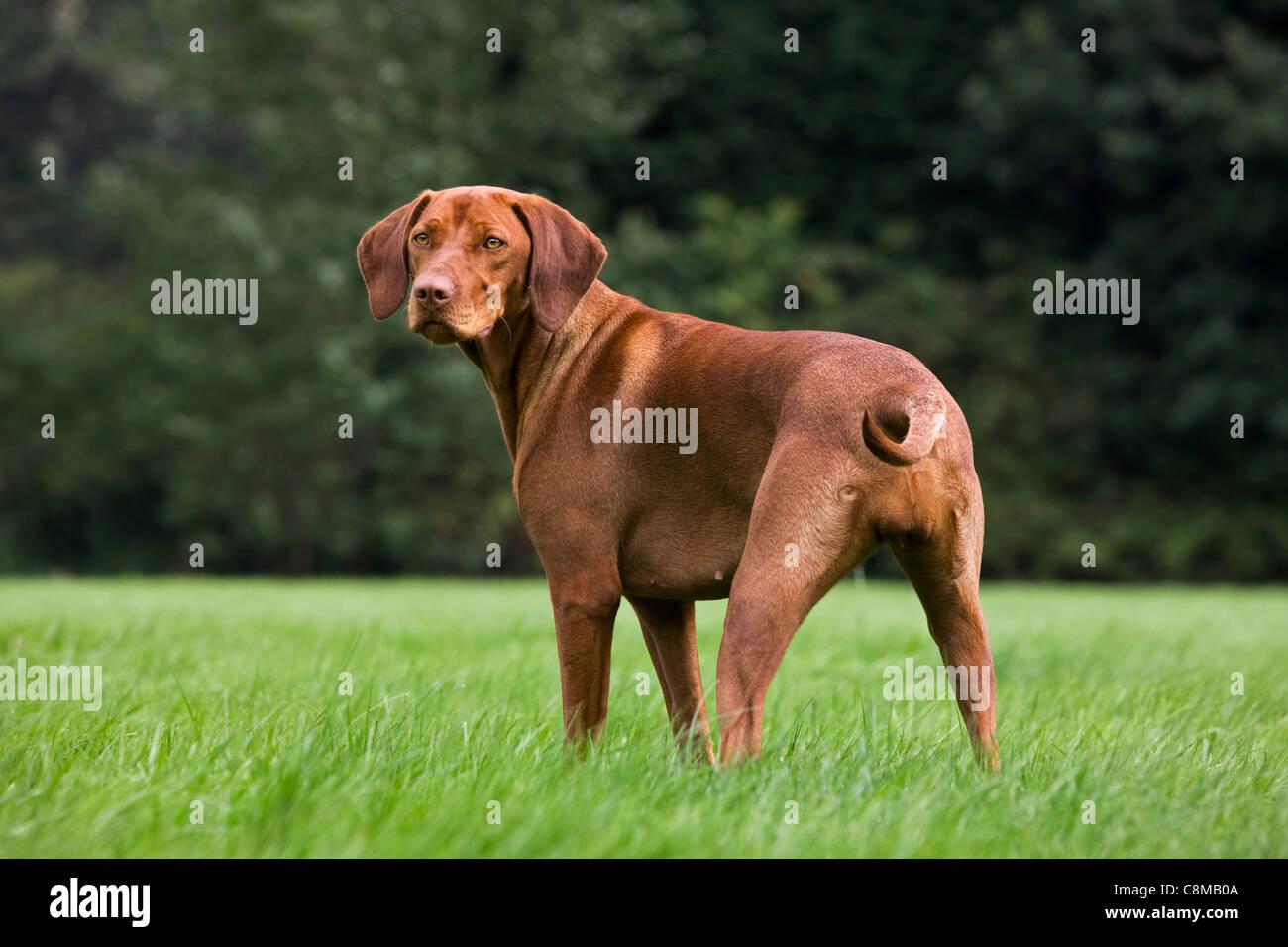 Cane Da Caccia Immagini Cane Da Caccia Fotos Stock Alamy