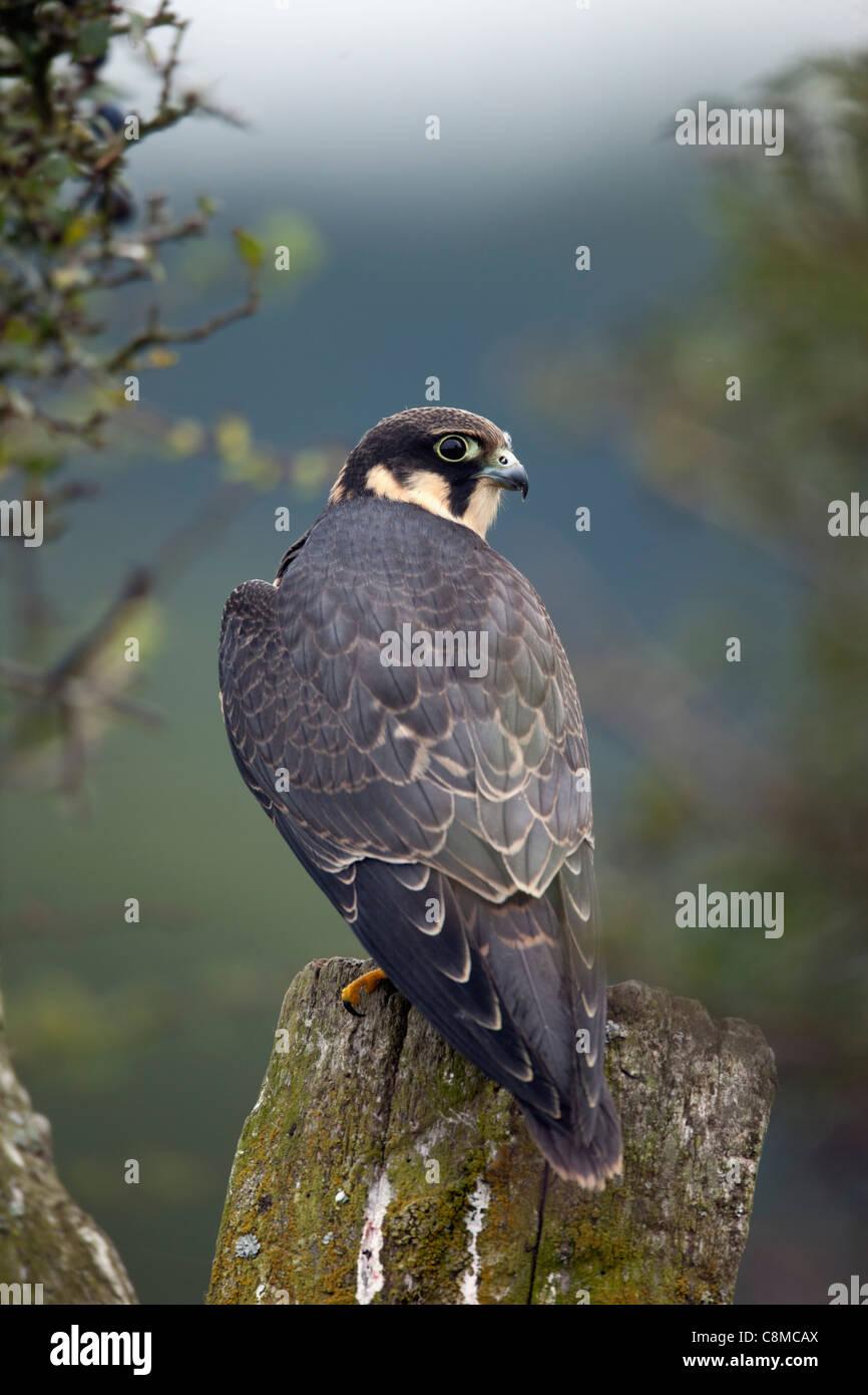 Hobby; Falco Subbuteo®; adolescente; Regno Unito Immagini Stock